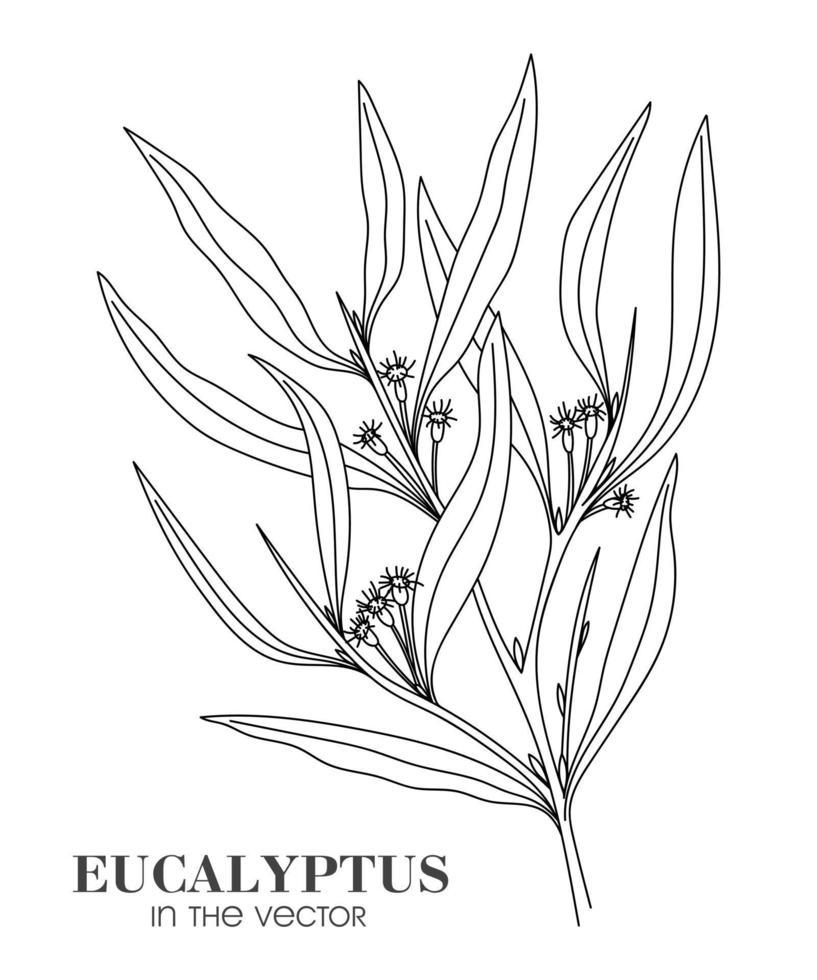 Esquisse d'une branche d'eucalyptus sur fond blanc vecteur