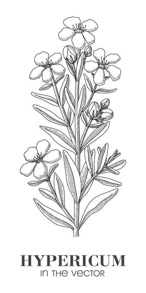 une esquisse de l'hypericum sur fond blanc vecteur