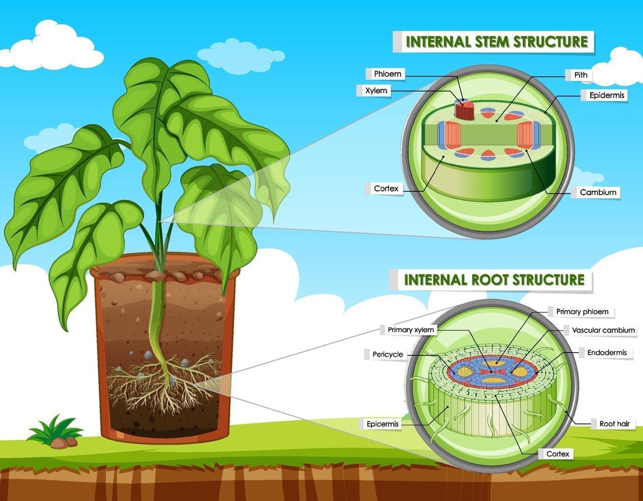 diagramme montrant la structure de la tige et de la racine vecteur
