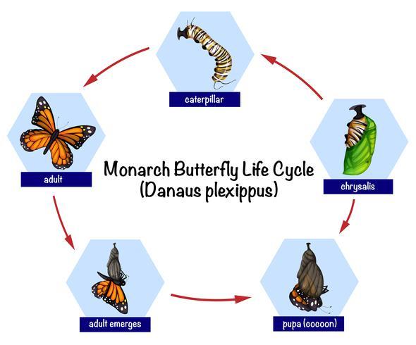 Cycle de vie du papillon monarque vecteur