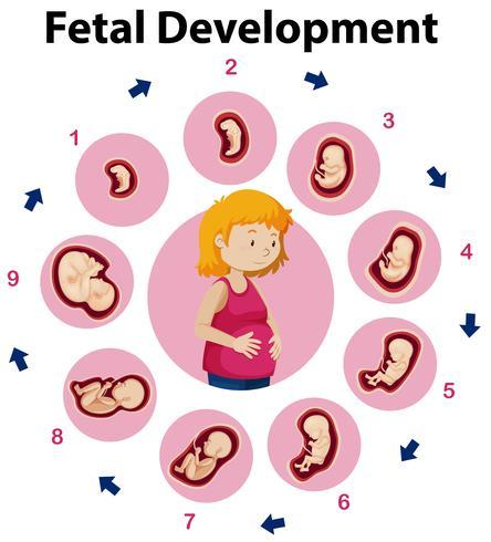 Affiche éducative sur le développement fœtal vecteur