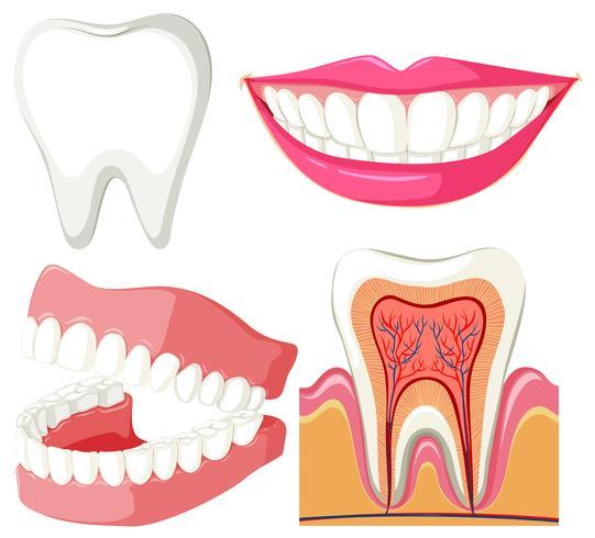 Diagramme montrant la bouche et les dents vecteur