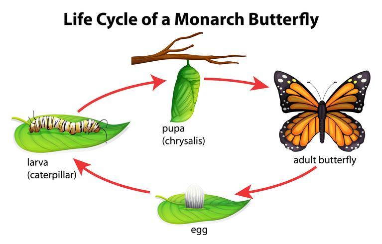 Papillon monarque vecteur