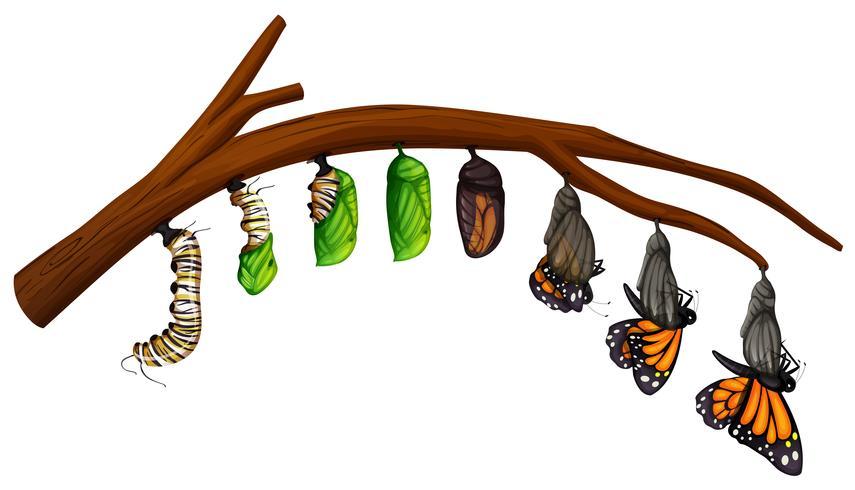 Un cycle de vie de papillon vecteur