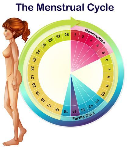 Un vecteur du cycle menstruel