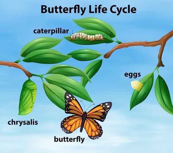 Diagramme du cycle de vie du papillon vecteur