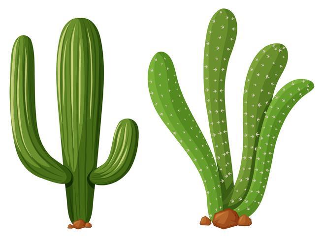 Deux types de plantes de cactus vecteur