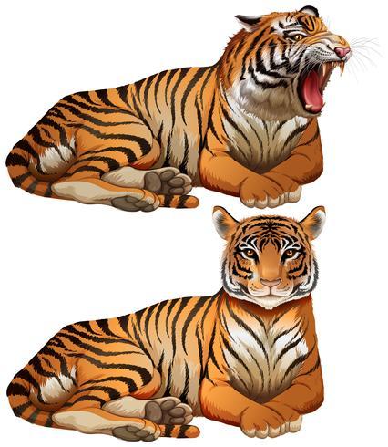 Tigres sauvages sur fond blanc vecteur