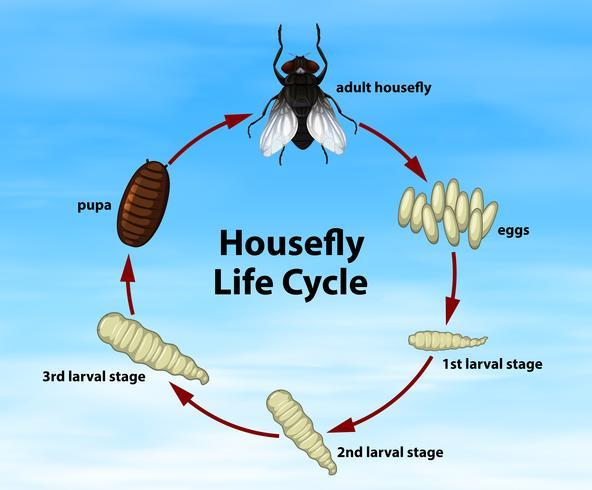 Cycle de vie de la mouche domestique Science vecteur