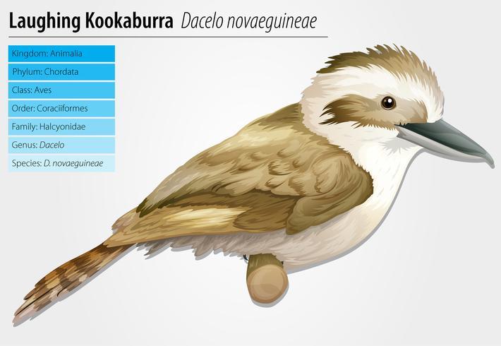 Rire Kookaburra vecteur