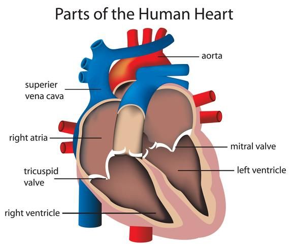 Parties du coeur vecteur