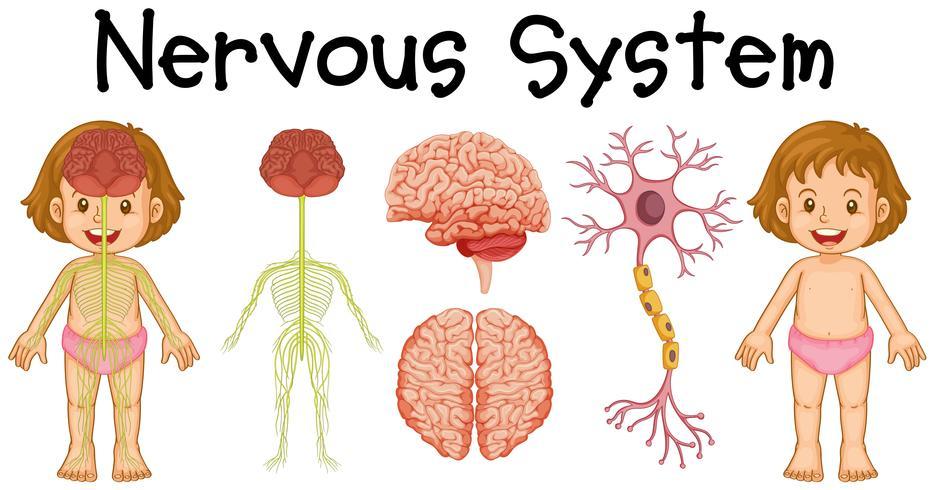 Système nerveux de petite fille vecteur