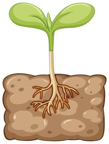 Plante poussant sous terre vecteur