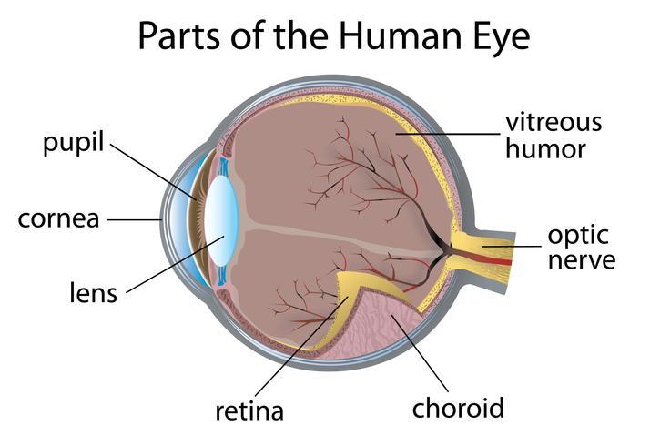 Œil humain vecteur