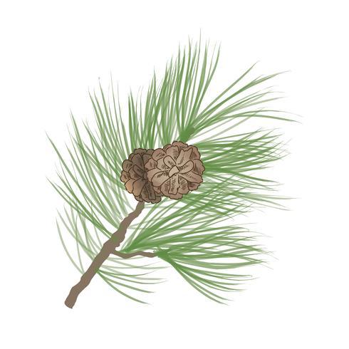 Pomme de pin. Branche d'arbre de pin isolée. Décor floral à feuilles persistantes vecteur