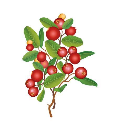 Branche de canneberge isolée. Fond floral de baies. Décor de nourriture d'été vecteur