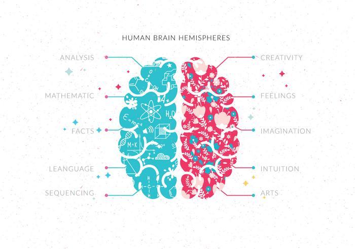 Cerveau humain hémisphères vol 3 vecteur