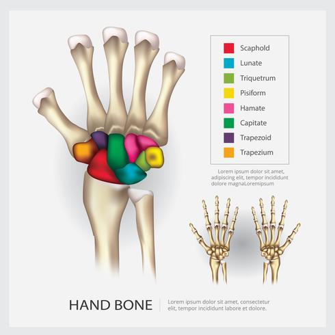 Illustration vectorielle d'os d'anatomie humaine main vecteur