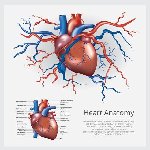 Illustration vectorielle d'anatomie du cœur humain vecteur
