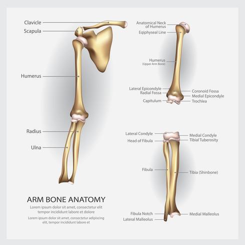 Anatomie des os du bras avec illustration vectorielle de détail vecteur