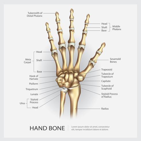 Os de la main avec illustration vectorielle de détail vecteur