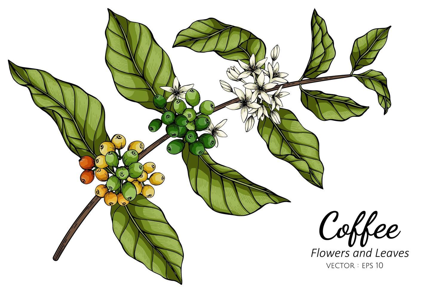 dessin de fleur et feuille de café vecteur