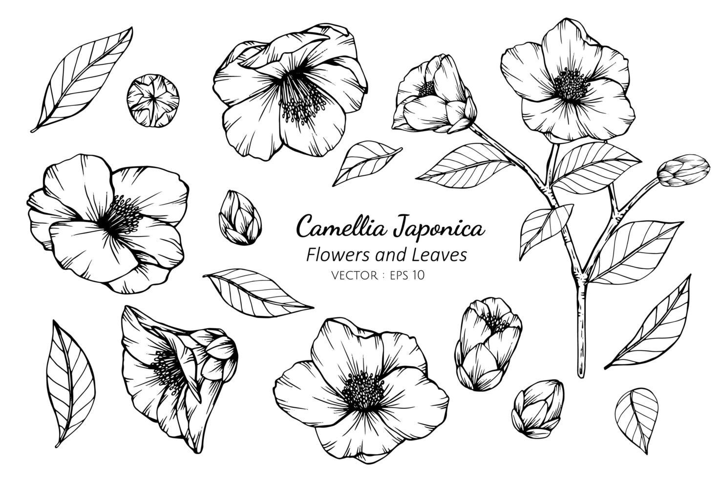 collection de fleurs et de feuilles de camellia japonica vecteur