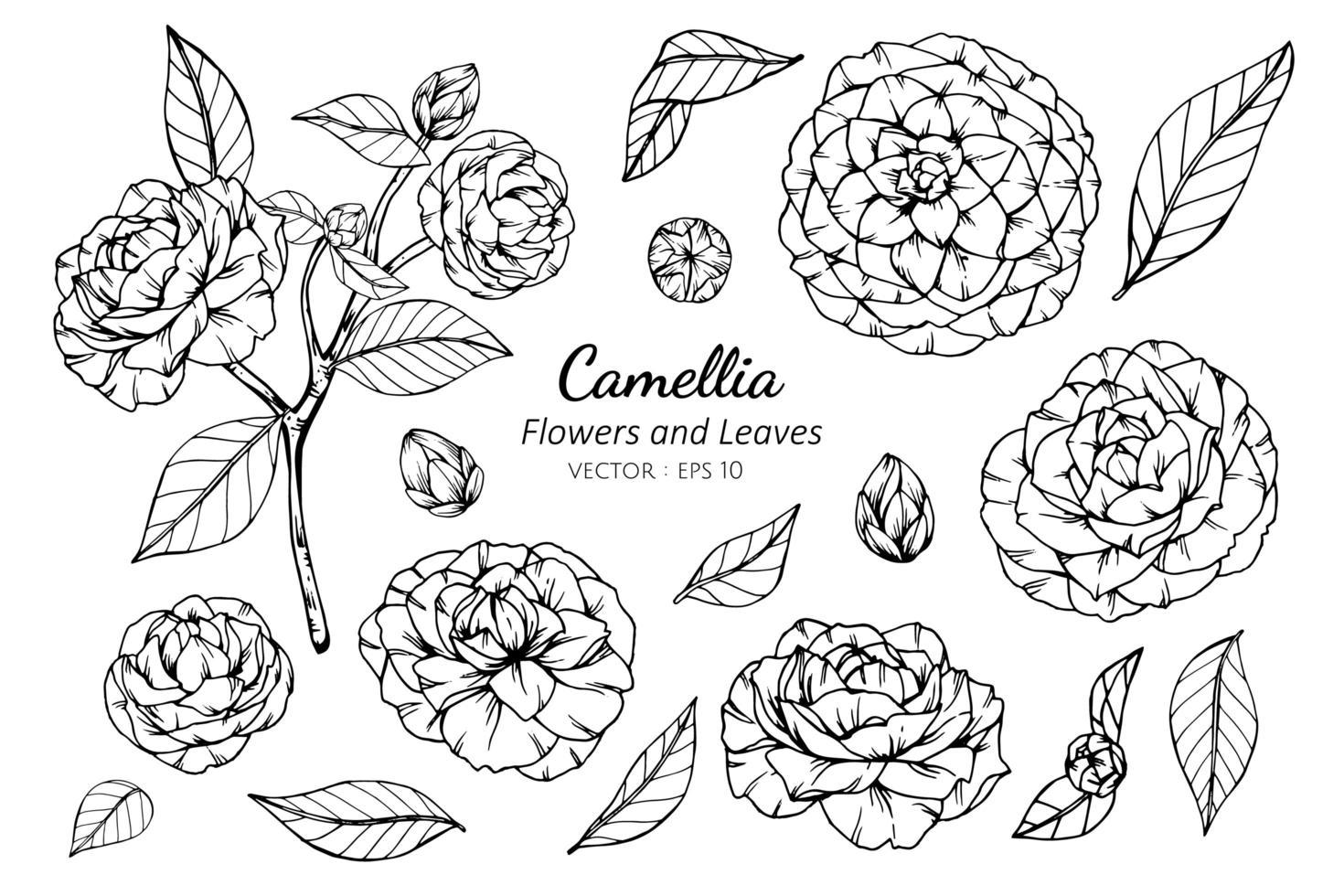 collection de fleurs et de feuilles de camélia vecteur
