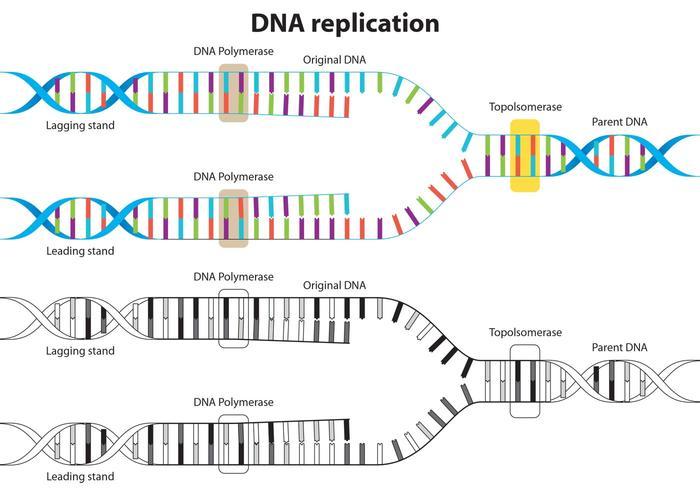 Diagramme vectoriel de réplication d'ADN