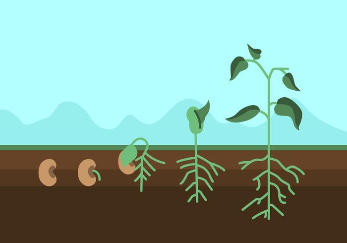 Cycle de croissance des plantes vecteur