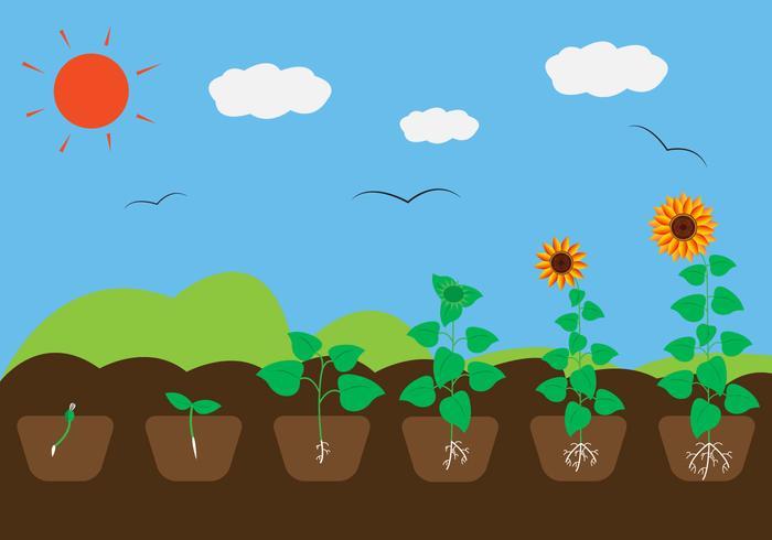 Cycle de croissance des plantes dans le vecteur