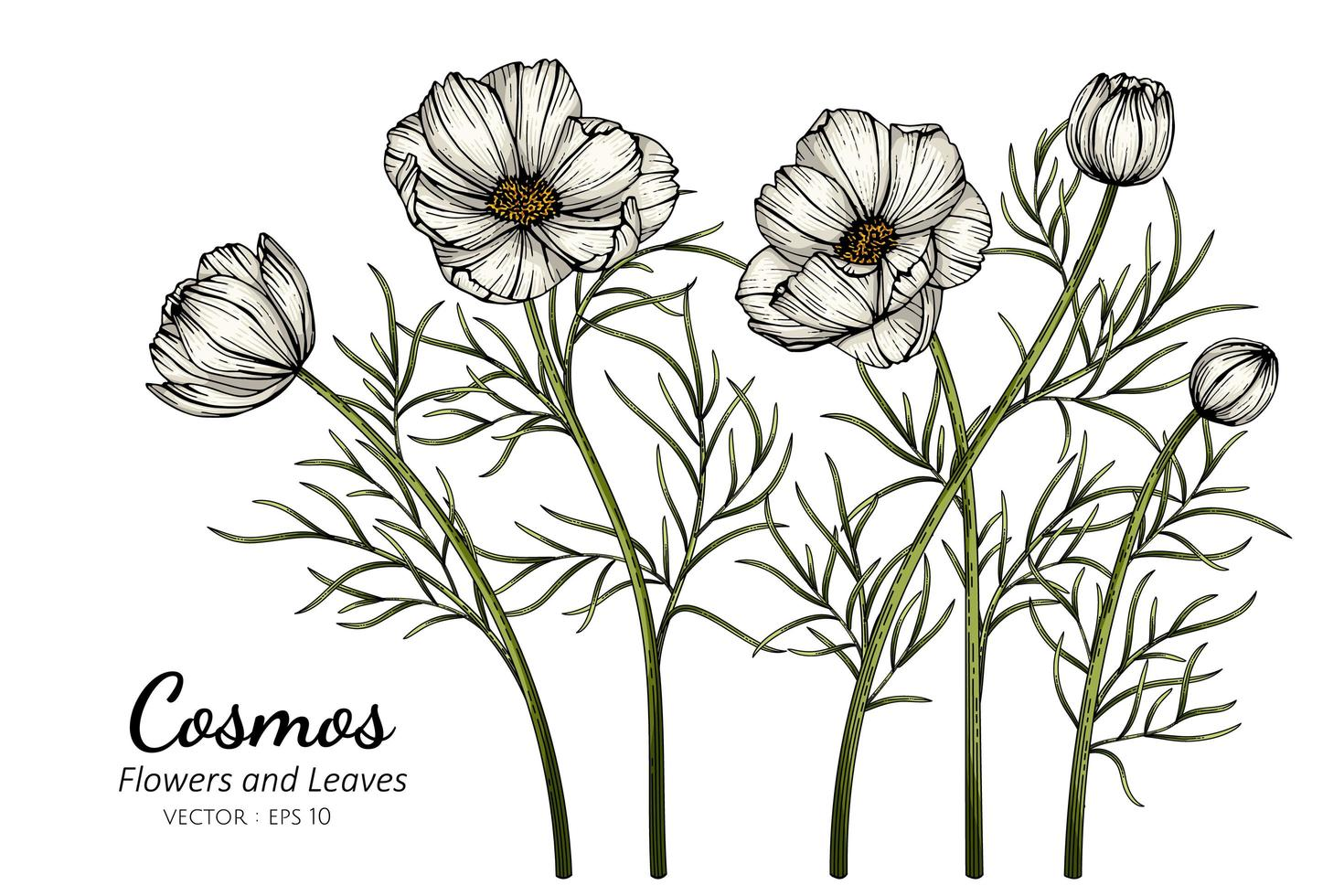 fleurs de cosmos blanc vecteur