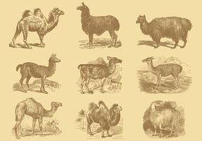 Alpagas Et Chameaux vecteur