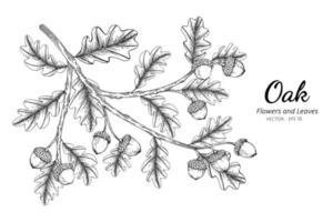 dessin au trait de noix et de feuilles de chêne