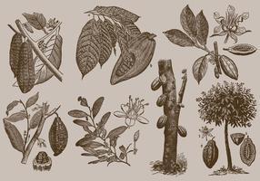 Les fèves de cacao vecteur