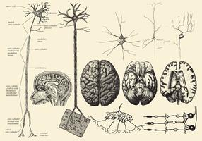 Dessins de cerveau et de neurones