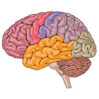 parties colorées du cerveau humain