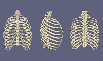 pack d'anatomie squelettique de cage thoracique humaine vecteur