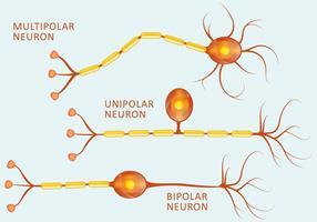 Types de neurones vecteur