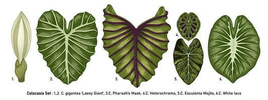 ensemble de feuilles de colocasia vintage vecteur
