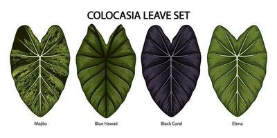 ensemble de feuilles d'oreille d'éléphant colocasia vintage vecteur