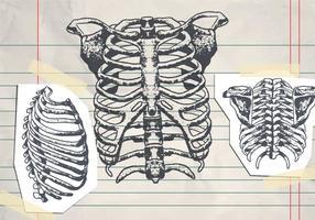 Hand-drawn Ribcage vecteur