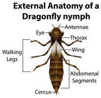 Anatomie externe d'une nymphe de libellule sur fond blanc