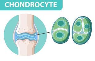 affiche informative de chondrocytes vecteur