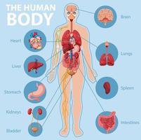 anatomie de l & # 39; infographie du corps humain vecteur