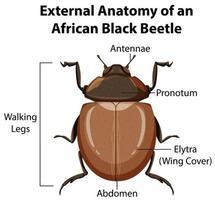 Anatomie externe d'un scarabée noir africain
