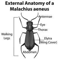 Anatomie externe d'un malachius aeneus sur fond blanc