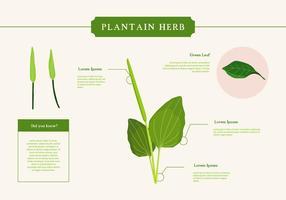 plantain herb vector