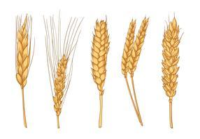 Oreilles de blé dessinées à la main vecteur