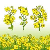 Illustration de fleur de canola vecteur